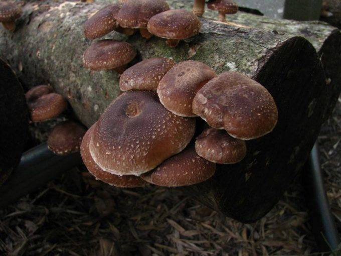 Черный китайский древесный гриб: польза, меры предосторожности