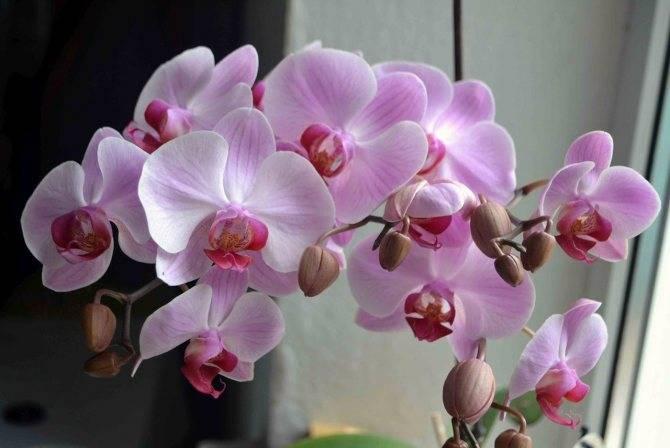 Как посадить орхидею: можно ли сажать цветок в домашних условиях, правильная посадка в горшок и выращивание, использование керамзита и земли в качестве грунта