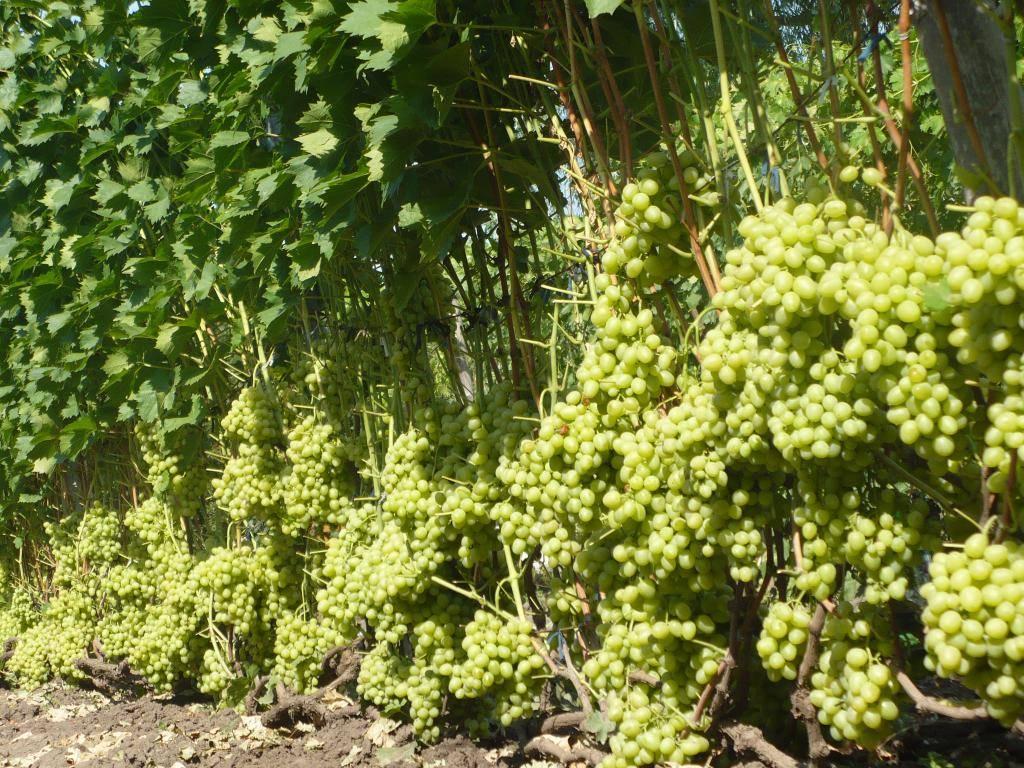 Виноград настя - описание и уход, сорт настя - особенности вида