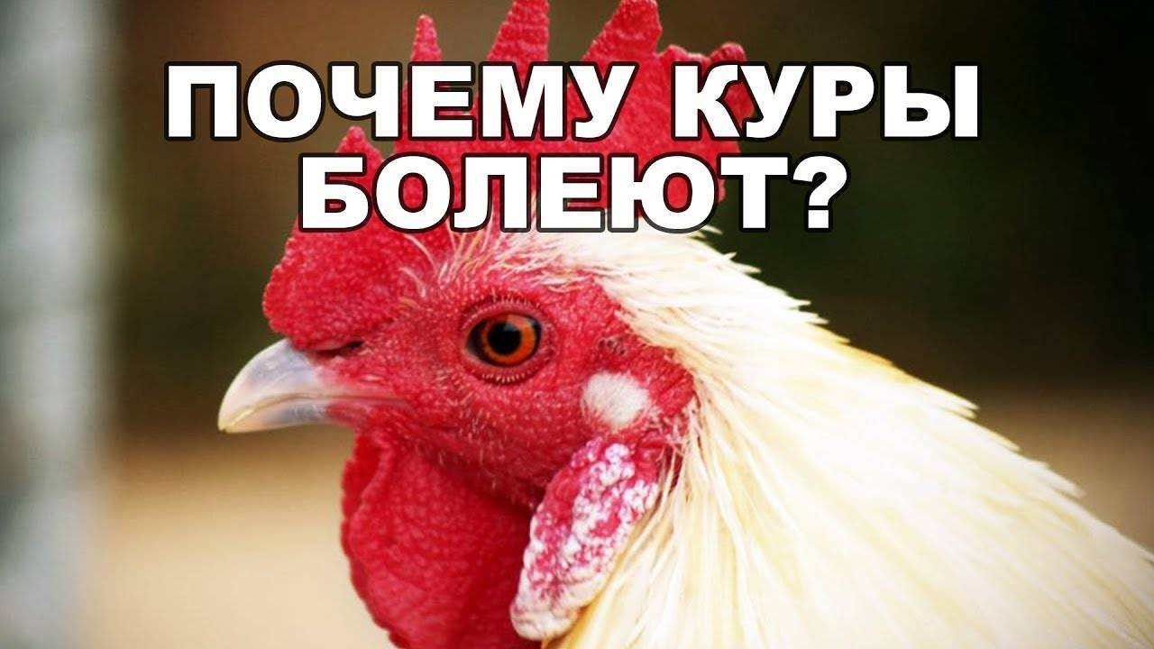 От чего дохнут куры, можно ли есть умершую курицу?