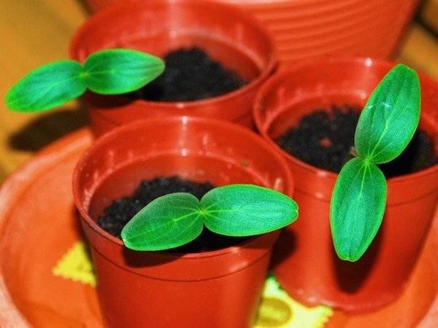 Рассада огурцов - 7 простых и эффективных способов выращивания