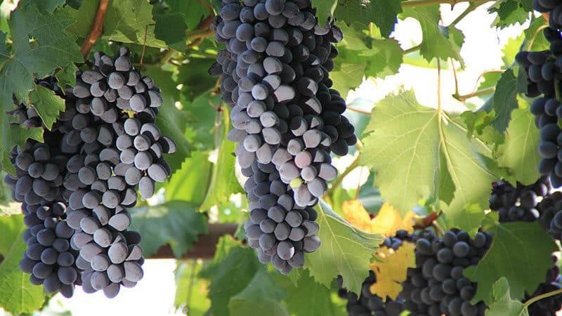 Неукрывной виноград — сорта культуры с описанием и фото