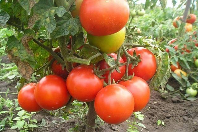 """Сорт томатов """"бони мм"""" гавриш: особенности возделывания помидор, урожайность и достоинства, выращивание и борьба с вредителями русский фермер"""