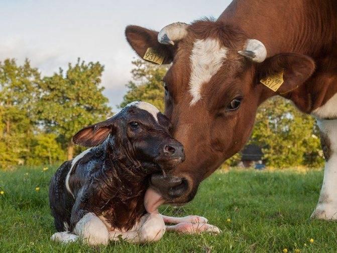 Описание стельности коровы по месяцам