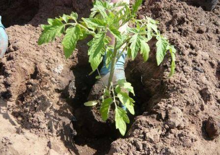 Когда пересаживать рассаду помидор в горшки