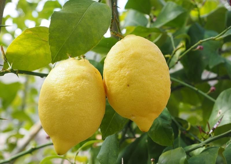 Узбекский лимон — отличия и особенности выращивания