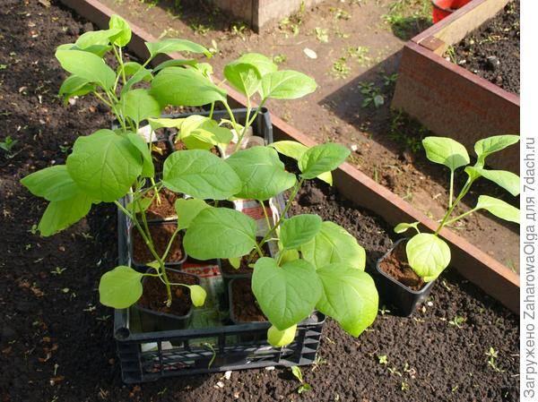 Дрожжевая подкормка для рассады и растений - рецепт приготовления