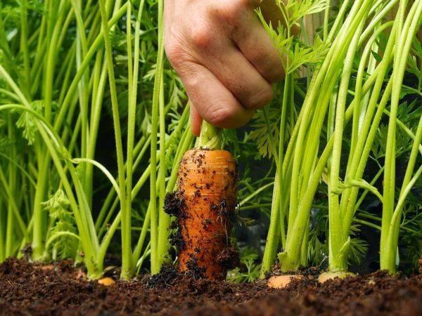 Сроки уборки моркови и свеклы в подмосковье в 2021 году: таблица по дням и месяцам, правила хранения