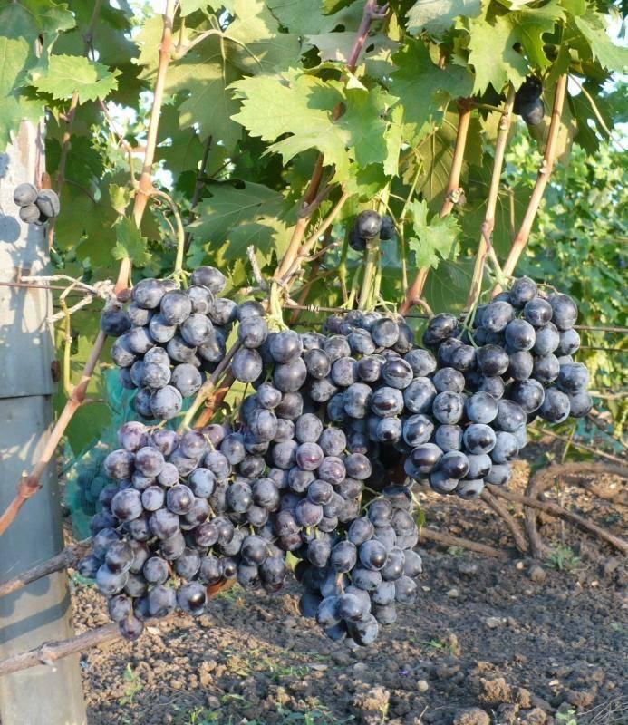 Виноград руслан — описание сорта, особенности выращивания