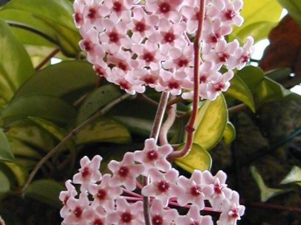 Хойя — народные приметы и суеверия о цветке