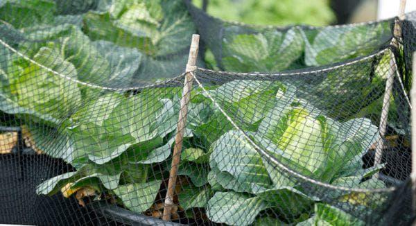 Чем обработать капусту от вредителей народными средствами — лучшие рецепты