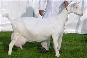Как лечить мастит у коз?