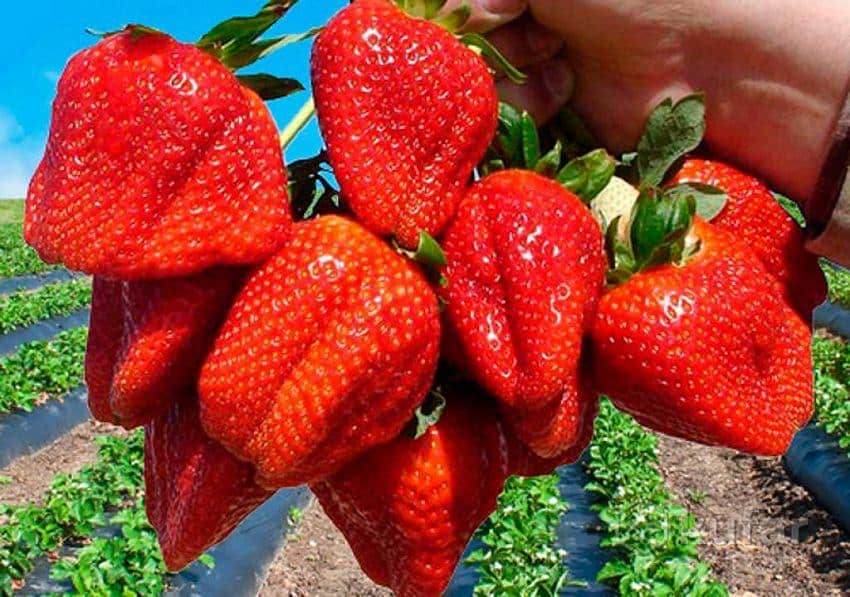 Клубника азия: выращивание и уход, отзывы садоводов, описание сорта итальянской селекции