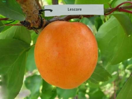 Самоплодные сорта абрикоса с описанием и фото