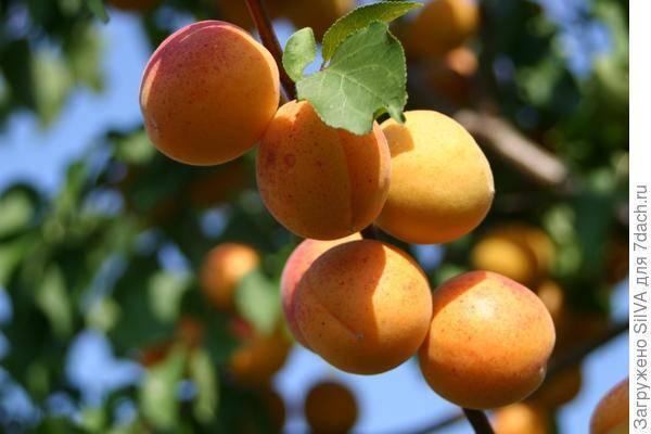 Сорт царский абрикос :описание, полезные свойства и уход