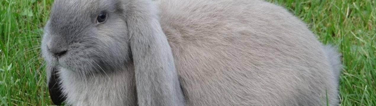 Порода кроликов французский баран: описание, характеристика, фото
