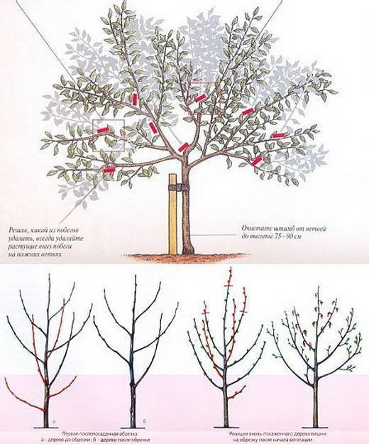 Обрезка вишни летом: когда и как правильно обрезать после плодоношения, схема