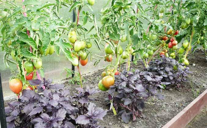 Советы огородникам: можно ли сажать помидоры и перцы в одной теплице, а также как получить хороший урожай?