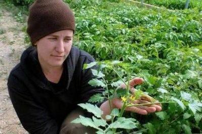 Как бороться с фитофторой на томатах: народные средства