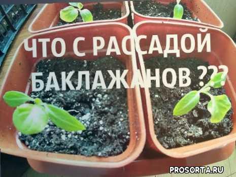 Что любит рассада баклажан. баклажаны выращивание и уход в открытом грунте.. как правильно подкормить баклажаны. как вырастить здоровые и крупные баклажаны? народные рецепты подкормки.
