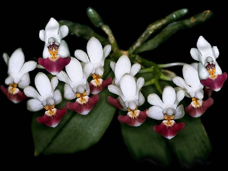 Описание орхидеи фалонопсис Эквестрис