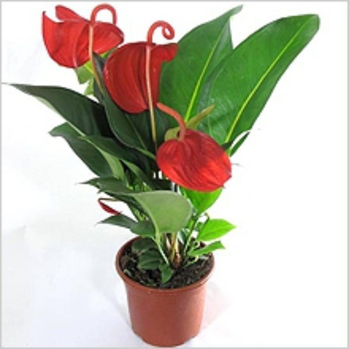 Как ухаживать за цветком «мужское счастье», чтобы он цвел? 22 фото почему антуриум выпускает только листья? как заставить его цвести в домашних условиях?