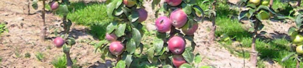 Колоновидная яблоня московское ожерелье: описание сорта с фото, посадка и уход, отзывы