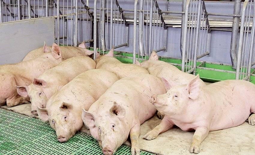Бизнес-идея: разведение свиней