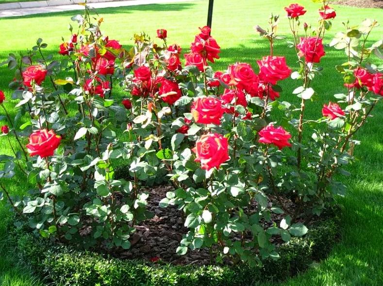 ✅ о посадке роз: когда можно и как правильно сажать в открытый грунт осенью - tehnomir32.ru