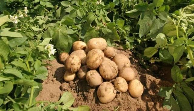 Картофель: польза и вред для организма человека | пища это лекарство