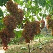 Старый проверенный виноград дамский пальчик - сорта винограда, столовые | описание, советы, отзывы, фото и видео