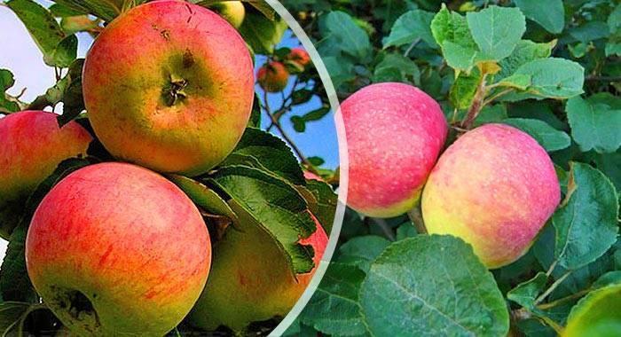 Яблоня уральское наливное: описание и фото, отзывы садоводов.