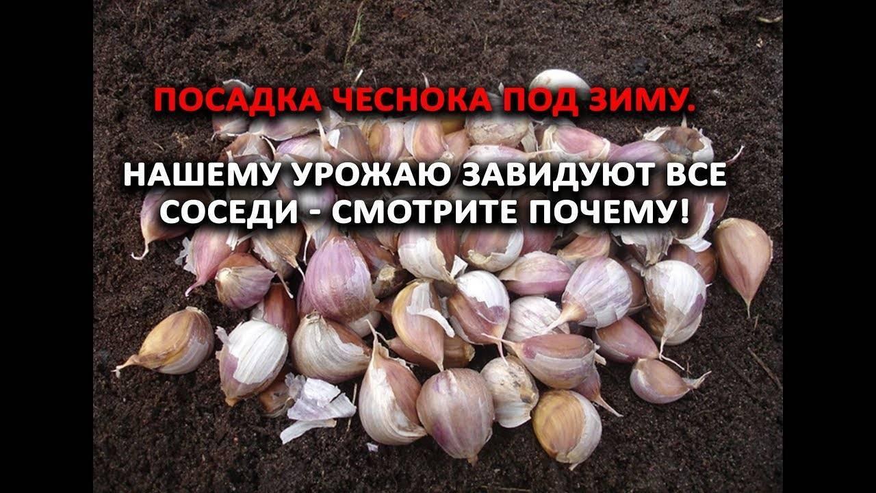 Посадка чеснока в белоруссии под зиму