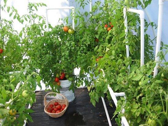 Какую температуру выдерживает рассада томатов и при каких значениях она погибает?