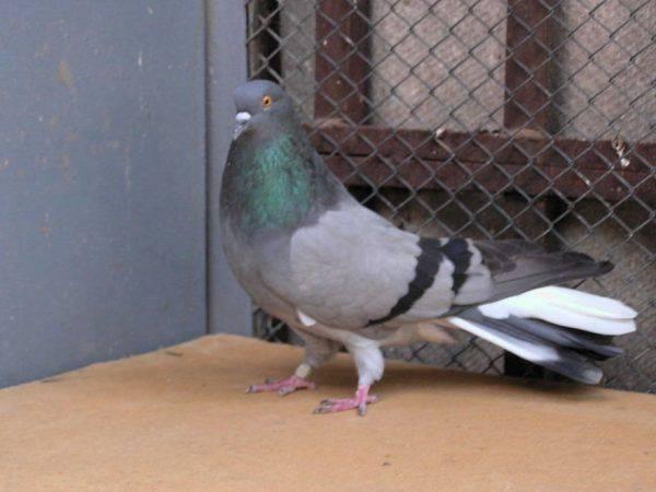 Голуби агараны(туркменские): описание бойной породы, фото
