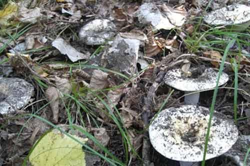 Грузди: виды описание и фото съедобных грибов