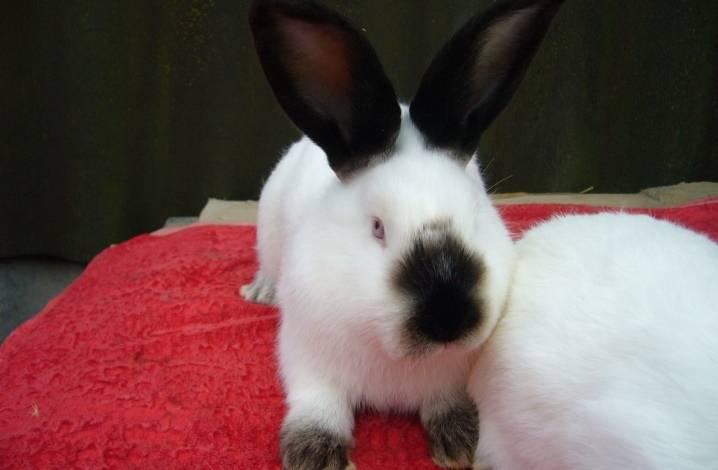 Кролики калифорнийской породы: описание и особенности содержания