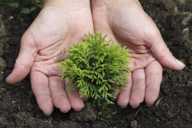 Туя: выращивание посевом семян. мастер-класс, фото на supersadovnik.ru