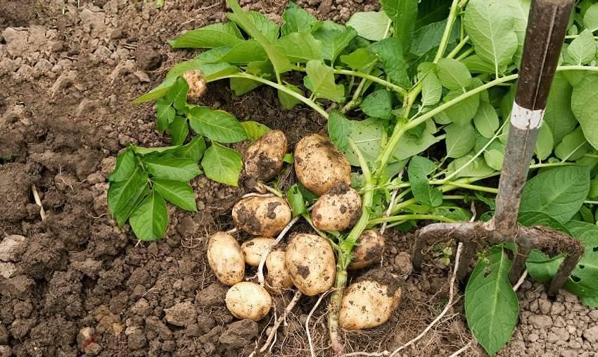 Картофель: посадка и уход в открытом грунте, выращивание из семян