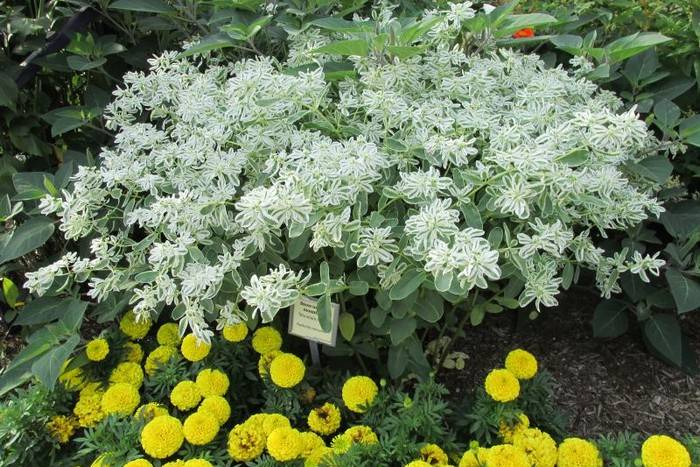 Богатая невеста или молочай горный снег: описание, фото, выращивание из семян и черенками, уход