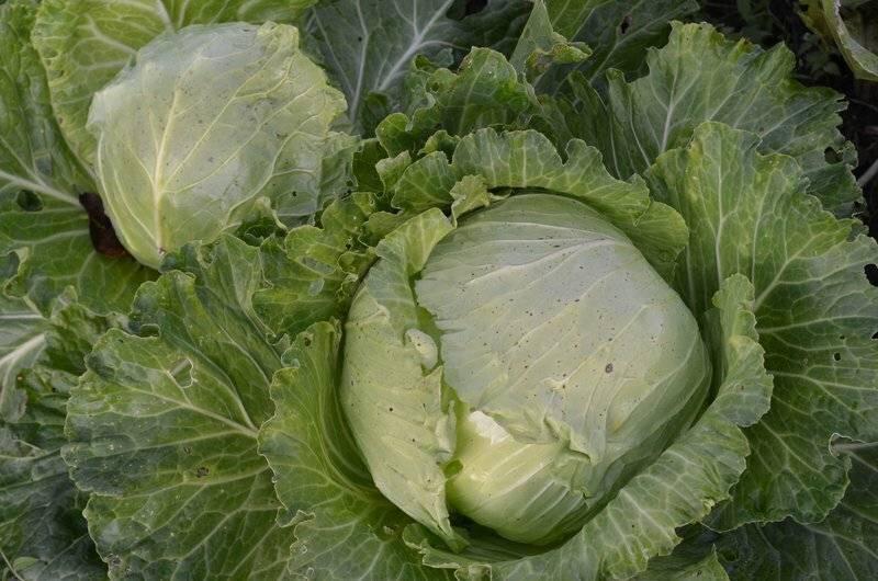 Почему у капусты начинают скручиваться листья: основные причины