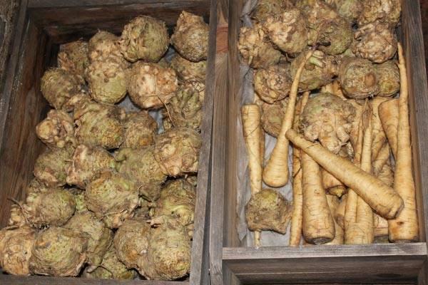 Когда убирать с грядки и как хранить сельдерей: корневой, черешковый и листовой