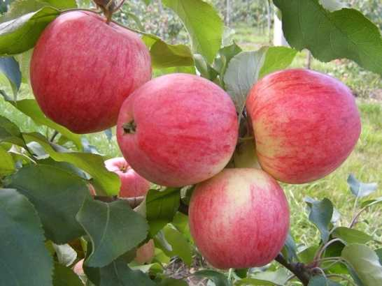 Яблоня заветное (видео)