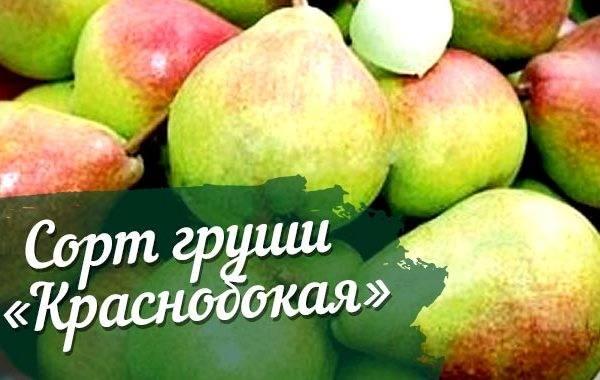 """Груша """"верная"""": подробное описание сорта, посадка, уход и фото selo.guru — интернет портал о сельском хозяйстве"""