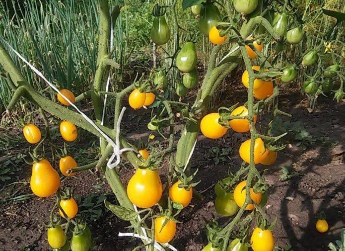 Томат медовая капля: отзывы, характеристика и описание сорта, фото, урожайность, видео