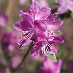 Рододендрон: выращивание, посадка, уход, сорта