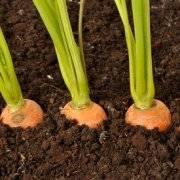 Как проредить морковь правильно на грядке в первый раз и повторно (с фото). как посадить без прореживания в 2021 году