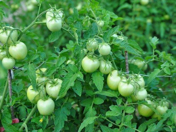 "Характеристика и описание томат ""засолочное чудо"""