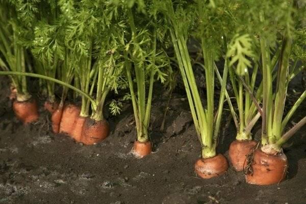 Обработка моркови от сорняков керосином