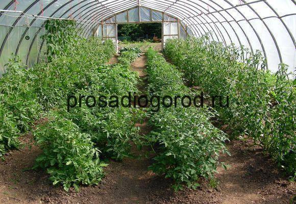 Правильное окучивание томатов — залог большого урожая!